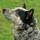 DuWest Bubba Magnet (Australian Cattle Dog male)