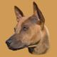 Elegance Thai Bellijess (Thai Ridgeback Dog female)