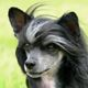 Lerri Čičiko (Chinese Crested Dog Powder Puff male)